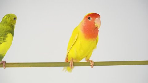 Two yellow parrots on a white background