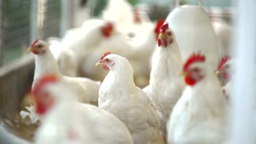 Group of Rhode Island White Chicken in Coop   | Shutterstock HD Video #1027035221