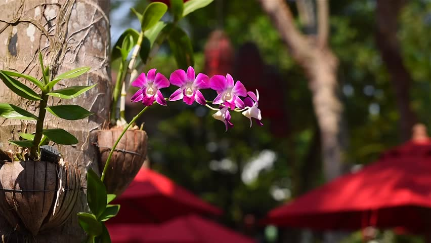 View of pink flower butterfly tree blossom on branches with nature blurred background, Phanera purpurea or incinia purpurea, Common names orchid tree, purple bauhinia, and Hawaiian orchid tree.