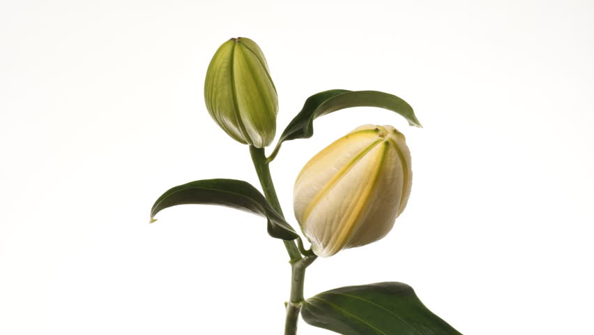 Lily flowers opening time lapse 4K. 2 creamy yellow to white flowers opening facing camera. Petals open, isolated against a white background. Stems and stigma