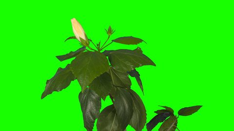 4K. Blooming white Hibiscus flower buds green screen, Ultra HD. (Hibiscus syriacus China Chiffon) (Time Lapse), 4096x2304