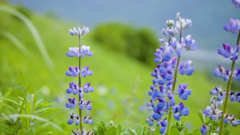 Lupine Flowers Dazzle on Mountainside in South-Central Alaska