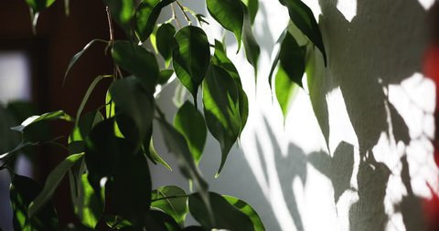House Plant Leaves and Shadows on Wall in Time Lapse 2