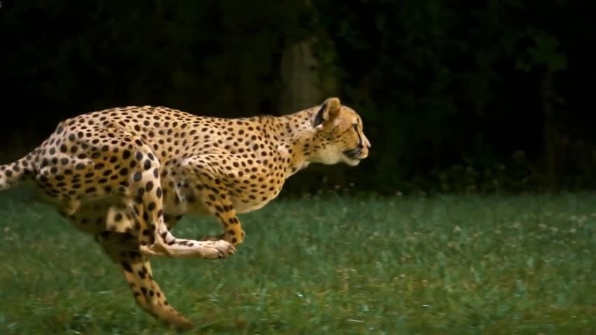 Cheetah Running Slow Motion Side View | Shutterstock HD Video #1027281551