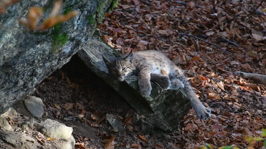 Two months old Eurasian lynx (Lynx lynx) kitten resting on rock near den and running off