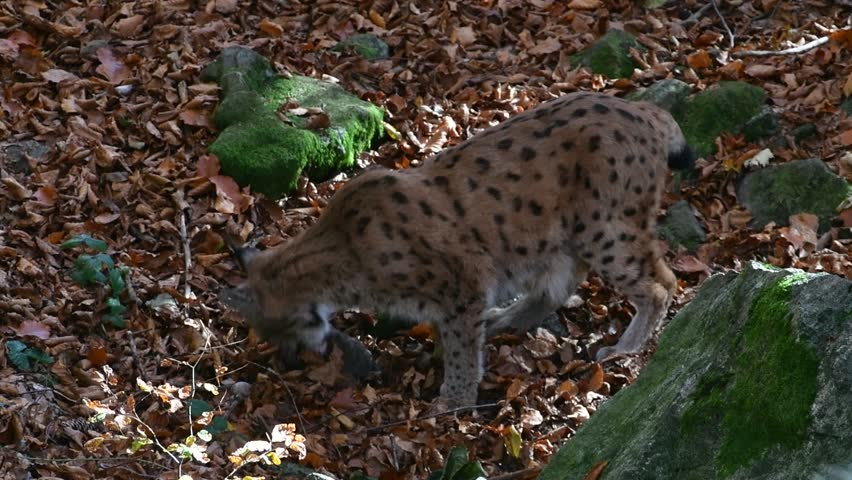 Eurasian lynx (Lynx lynx) feeding on dead rabbit prey in autumn forest