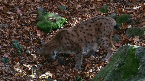 Eurasian lynx (Lynx lynx) feeding on dead rabbit prey in autumn forest