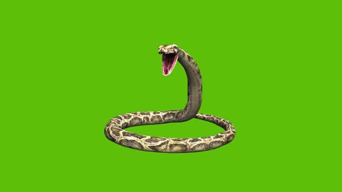 Animation of a 3d python snake, moving  coiling  and rearing up to open moth and hiss, set on a green background.