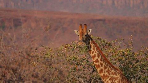 Group of Giraffe walking and feeding on bushes in Damaraland close to Etosha National Park, Namibia