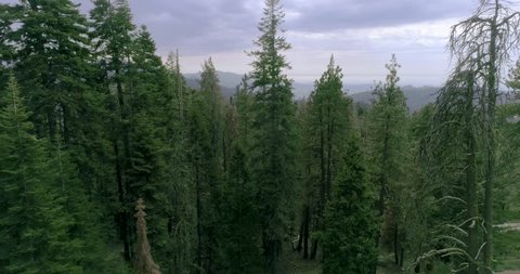 SEQUOIA NATIONAL PARK, CA, USA. An aerial 4K shot over the forests of fir, pine, cedar, and sequoias. Sierra Nevada mountains covered with high trees.