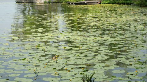 water lilies on the river in summer day
