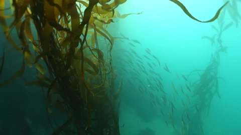 Forward: plenty of fish hiding behind the plants of monterey california in  monterey, california