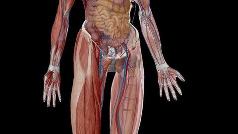 Animated 3D human anatomy. 3D human anatomy animation. 3D anatomy atlas. Animated 3D human body atlas.