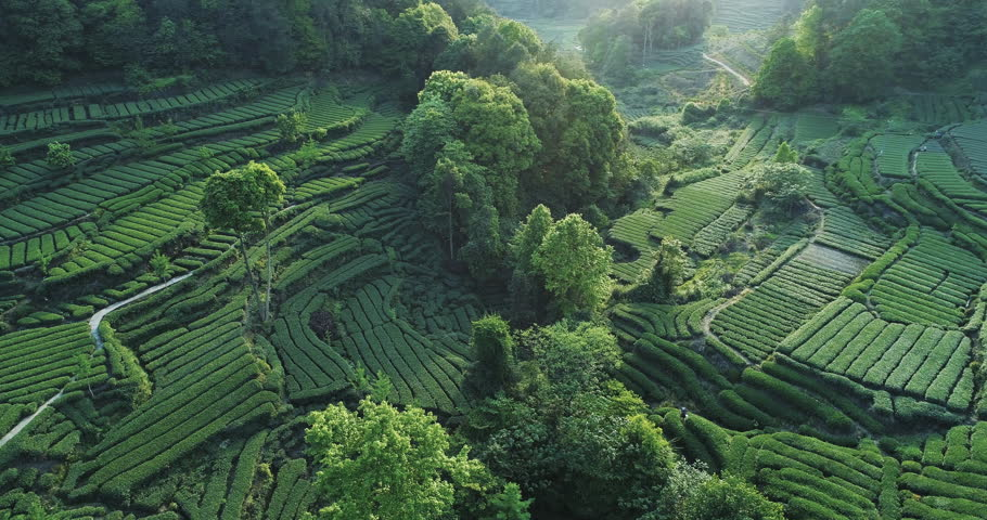 Aerial view of beautiful tea farm in the Mountain in Pujiang Sichuan China. Above view of fresh tea terraced fields in spring day 4k drone nature footage  | Shutterstock HD Video #1028207171