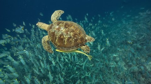 Turtle swims over enormous spawning aggregation of Sailfin Snappers in Palau (part of sequence)