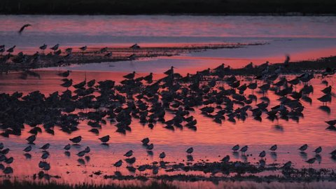 Panning shot of large flock of shorebirds flying to roost at sunset in an estuary in Miranda, New Zealand