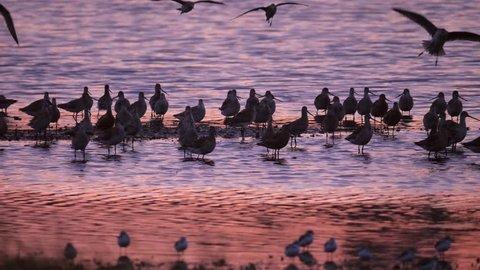 Godwits, shorebirds slow motion at sunset landing at roost near Miranda in New Zealand