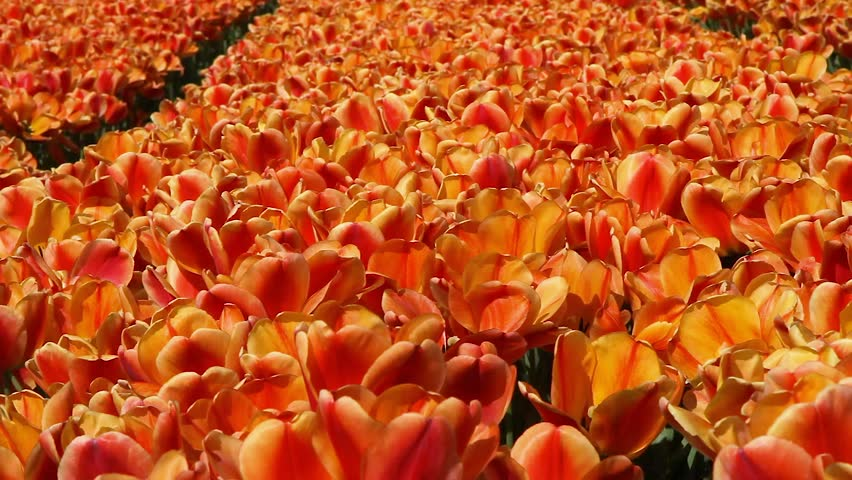 Millions of orange tulips growing on the blooming fields of Netherlands swaying in the wind. Sunny day, bright colors, spring in Holland, Amsterdam area
