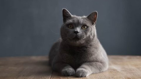big gray purebred curious cat quickly turns his head