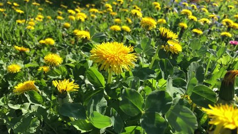 On a sunny day, the video camera moves across the meadow with yellow dandelion flowers