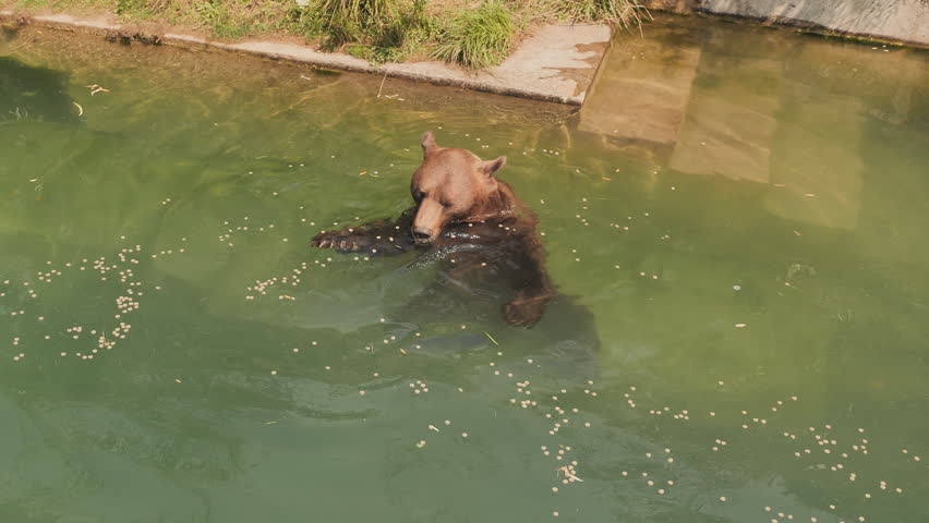 Brown bear swims in the pond of the zoo and eats food.