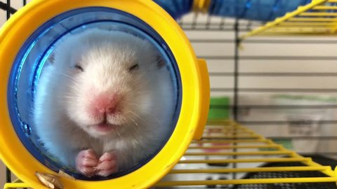 Hamster in a cage. A fluffy hamster, brown-white, sits in a pipe and chews food.