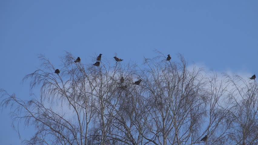 Flock of crows at a height in swaying crown of a tree. | Shutterstock HD Video #1028656211