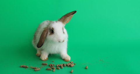 Adorable bunny easter fluffy rabbit eating food on green screen background, 1 month old rabbits. selective focus. Animal concept.