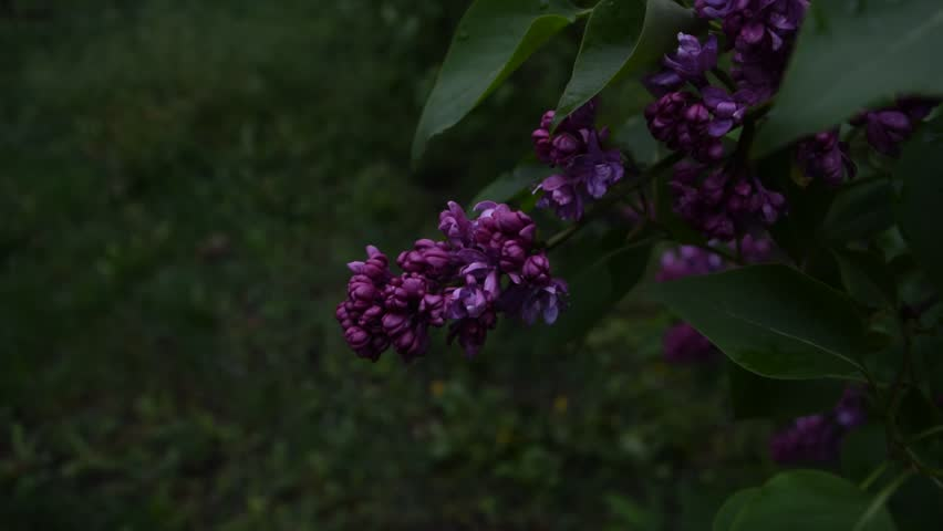 Lilac flowers in the Park. Nature spring