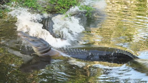 Large bull American Alligator (Alligator Mississippiensis)  in southern swamp displaying breeding ritual when he is attacked by second large male gator competing for the same territory.