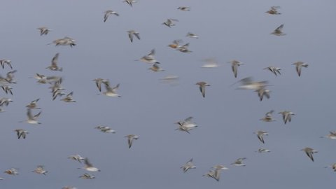 Slow motion flock of Knots and Godwits birds flying in formation across a wetland in New Zealand near Miranda