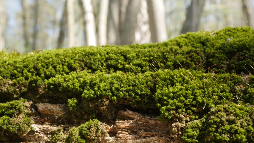 Moss on a fallen tree in the spring forest. closeup