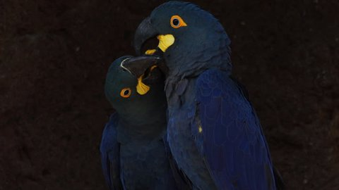 A couple of Lear`s blue Macaw in an affectionate moment. Bahia, Brazil.