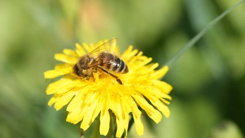 Yellow dandelion and bee collecting honey and flies