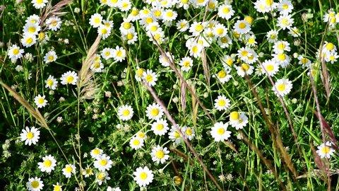 Wild White Marguerite Daisies in 4k footage for background