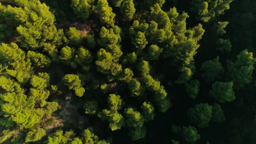 Top view beautiful high green trees at sunset aerial shot amazing natural forest park with tall dense plants wonderful landscape surrounded by sun glare at summer day in Greece