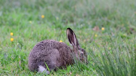 Young brown hare sitting in the meadow and search feed, spring, (lepus capensis), germany