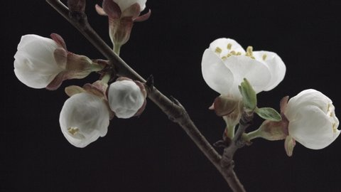Spring flowers opening. Beautiful Spring Apricot tree blossom open timelapse, extreme close up. Time lapse of Easter fresh pink blossoming apricot closeup. Blooming backdrop on black 4K UHD video