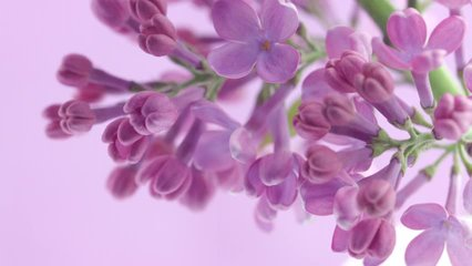 Lilac flowers bunch background. Beautiful opening violet Lilac flower Easter design closeup. Beauty fragrant tiny flowers open closeup. Nature blooming flowers backdrop. Time lapse 4K UHD video