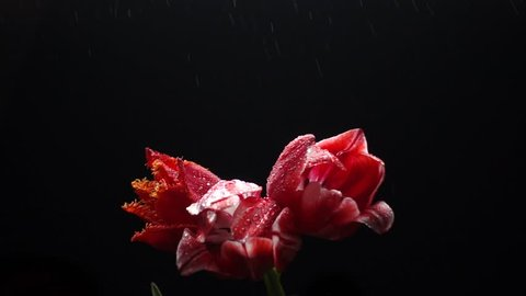 Red tulips at rain isolated on black, slow motion, 250fps