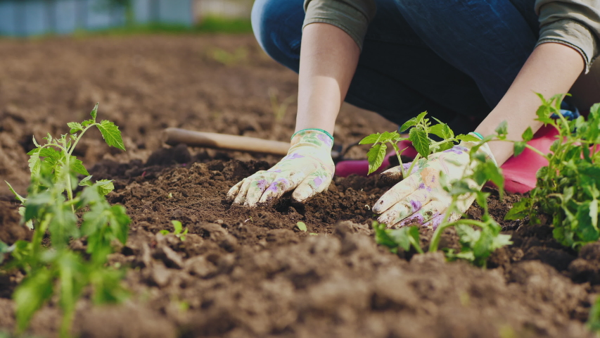 Farmer hands planting to soil tomato seedling in the vegetable garden. Close-up shot | Shutterstock HD Video #1029478331