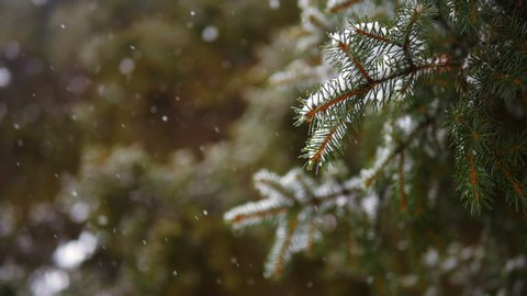 Snow falling at the fir trees branches. Snow falls from pine tree branch in a forest. Slow motion.