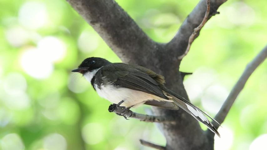 Bird (Malaysian Pied Fantail, Rhipidura javanica) black and white color perched on a tree in a nature wild | Shutterstock HD Video #1029885011