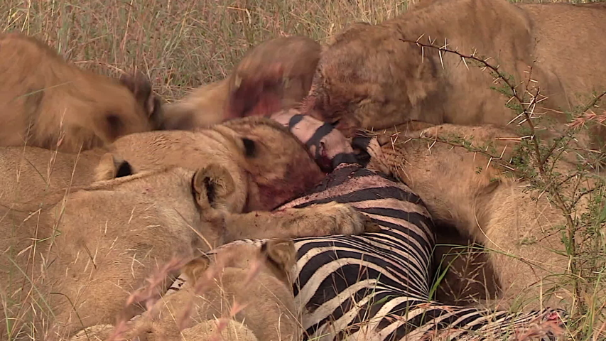 Wild Lions After Successful Hunt. | Shutterstock HD Video #1030021121