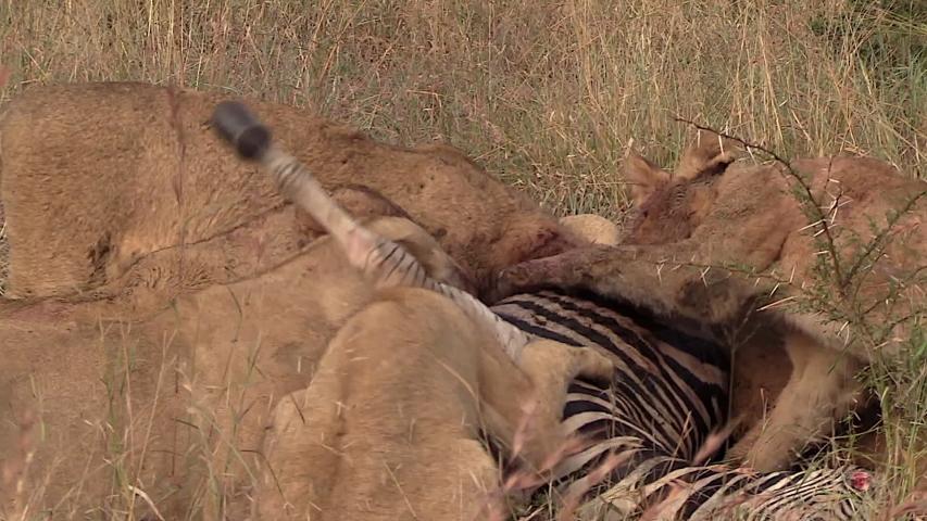 Hungry Lions Tear Into Zebra Prey. | Shutterstock HD Video #1030021151