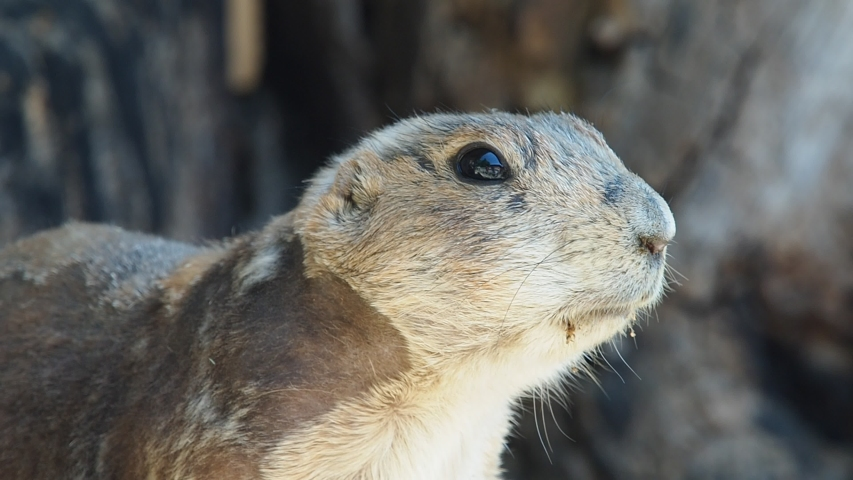 Prairie dog are looking somewhere, keeping his eye  | Shutterstock HD Video #1030027421