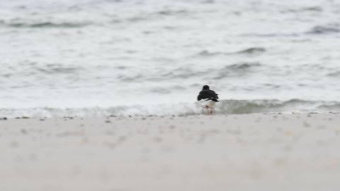 The Eurasian oystercatcher (Haematopus ostralegus) looking for food on the beach at the North Sea.