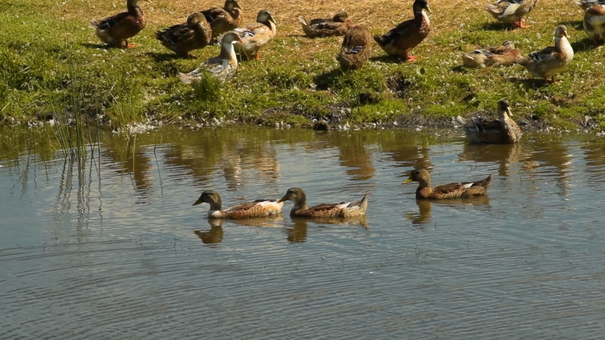 Three domestic ducks floating in the pond one after another. Farm animals and livestock | Shutterstock HD Video #1030101401