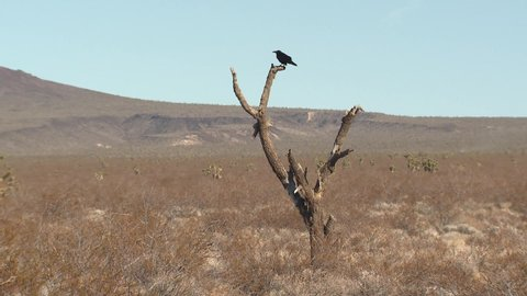 Common Northern Raven Bird Perched on Snag or Dead Joshua Tree in Barren Southwestern Desert with Heat Waves