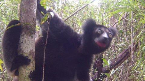 The Indri lemur (Indri Indri) sitting on tree in Madagascar